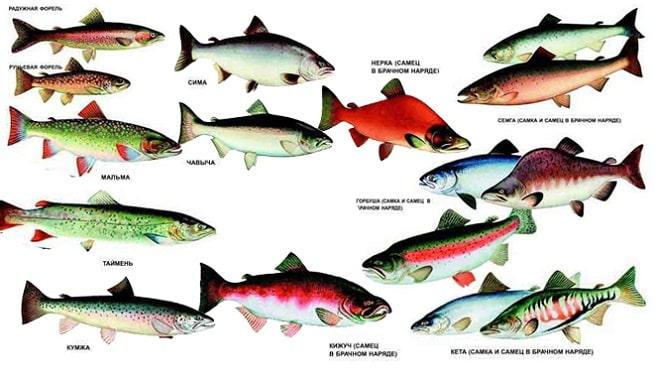 lososevye vidy ryb