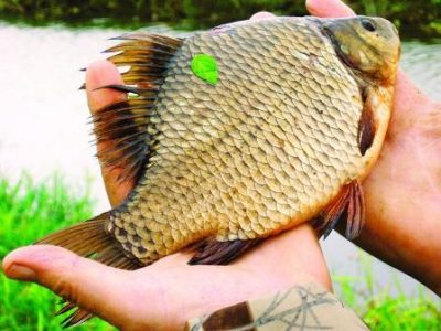 lovlya karasya vesnoj sekrety horoshej rybalki