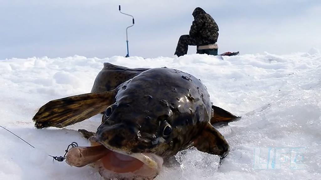 lovlya nalima zimoj gde iskat i na chto kljuet