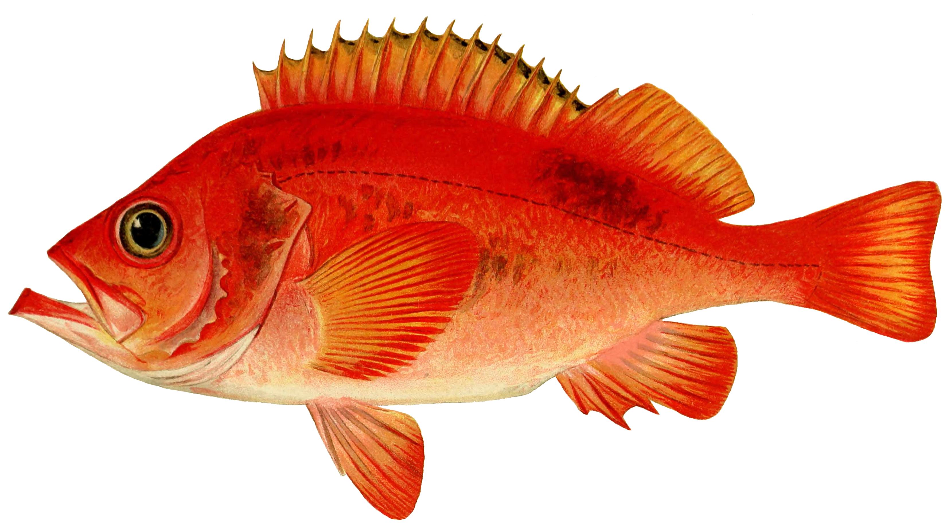 morskoj okun