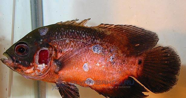 chto takoe mikobakterioz u ryb i naskolko opasen