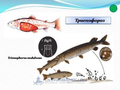 chto takoe trienoforoz ryb ego simptomy i opasnost dlya cheloveka