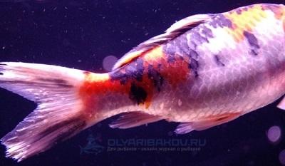 psevdomonoz u ryb kak vyglyadit zarazhennaya ryba opasno li ee upotreblyat i kak borotsya s zabolevaemostju