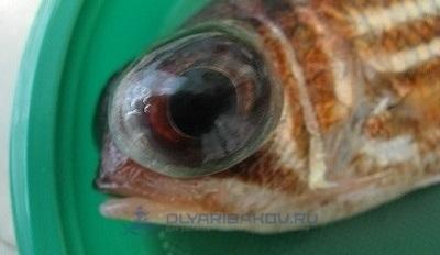 streptokokkoz ryb chto eto za bolezn kak raspoznat bolnuju osob mozhno li ee upotreblyat cheloveku i kakie profilakticheskie mery protiv infekcii provodyatsya